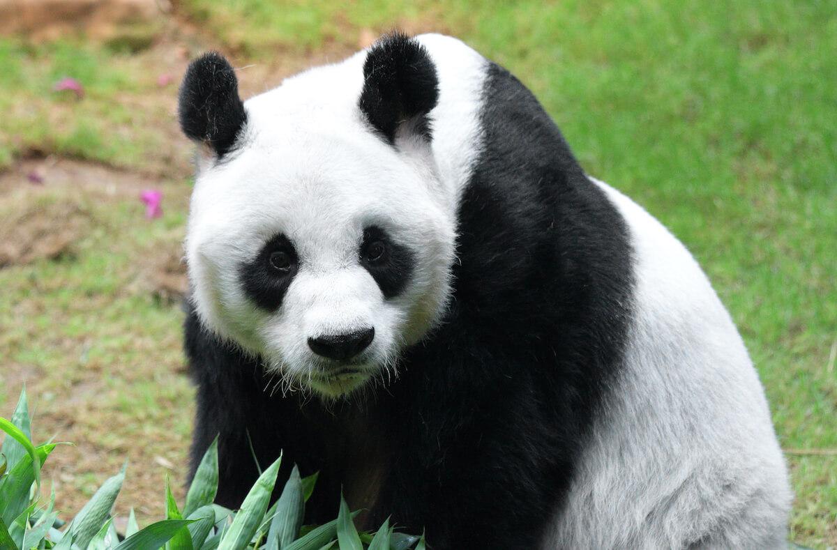 Reuze Panda uitgelichte afbeelding op Vishandel Waninge in Lochem uit de Achterhoek